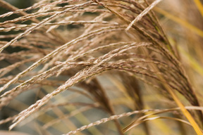 Miscanthus bloom in fall