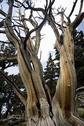 bristlecone pine_9604
