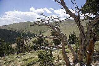 bristlecone pine mount goliath_9618