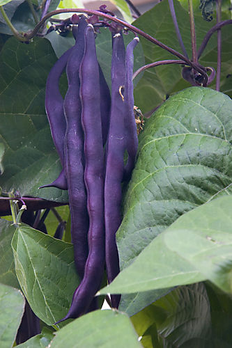 Purple Cardinal Pole Bean_0049