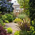 Ceanothus 'Victoria' in garden scene