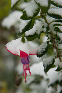 Fuchsia in snow_0892