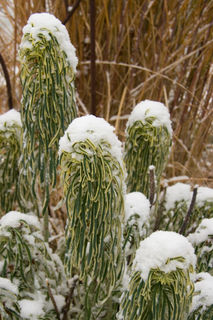Euphorbia in snow_0904