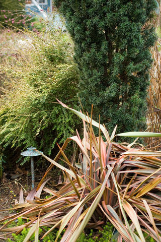 Winter Damage_Phormium_Maori