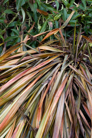 Winter Damage_Phormium_Yellow Wave