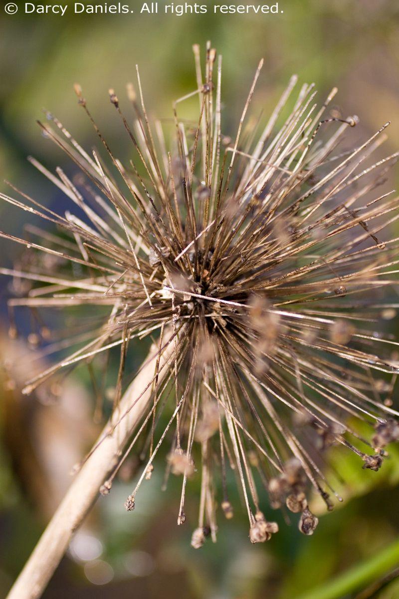 Allium seedhead_0986