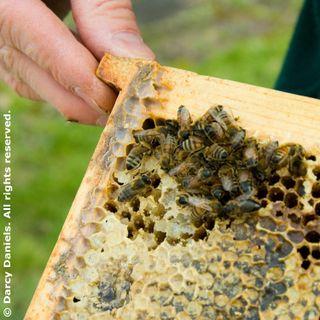 Honey-Bees_1091