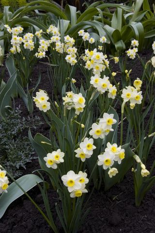Narcissus-Minnow-Mar-16-2005