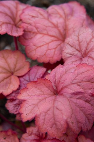 Heuchera Georgia Peach_1735