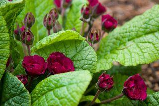 Primula April Rose_1737