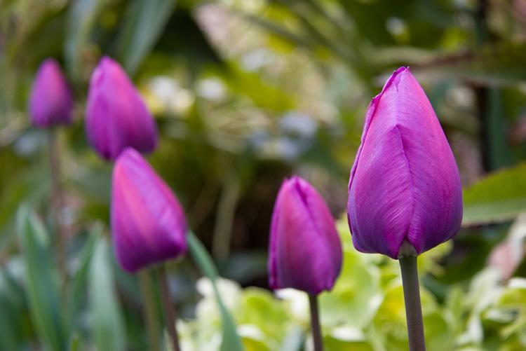 Tulip_1762