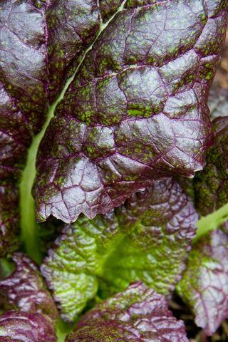 Mustard Greens_1752