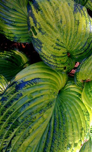 Hosta Sum and Substance mutant
