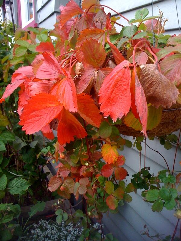 Bloomtown Kitchen Garden_strawberries fall color