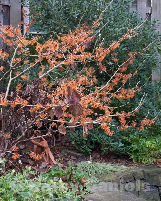 Witch hazel backed by evergreen-1618