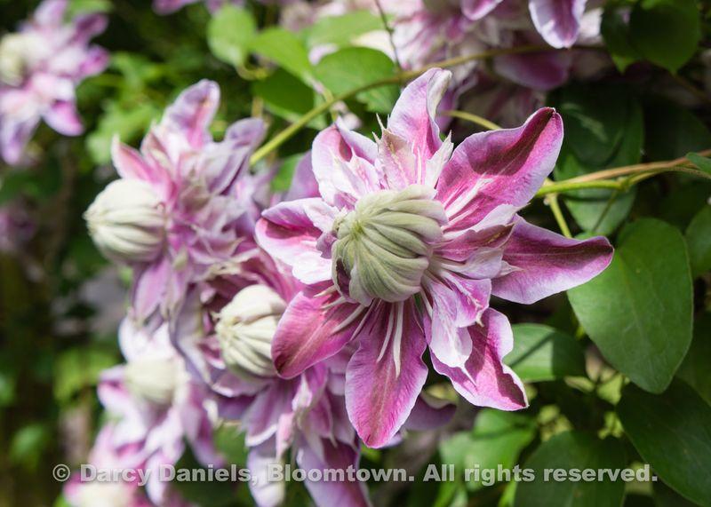 Bloomtown Front Garden Spring 2014-05909