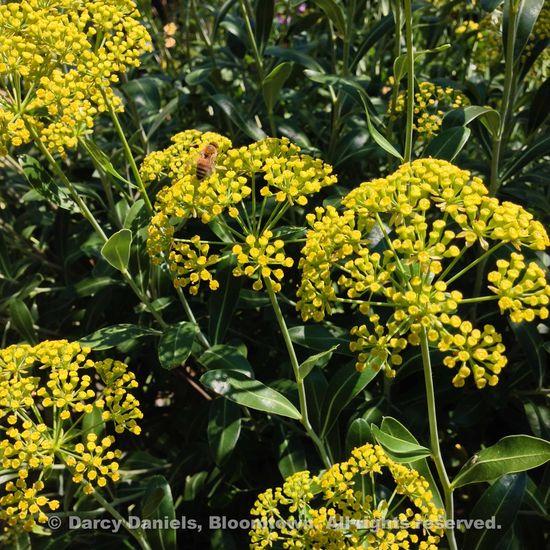 Lilium 'Golden Splendor'-5253