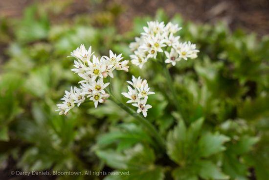 Loropetalum chinensis-01607