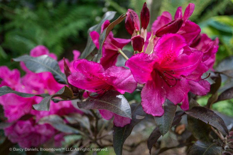 Rhododendron Ebony Pearl-02042