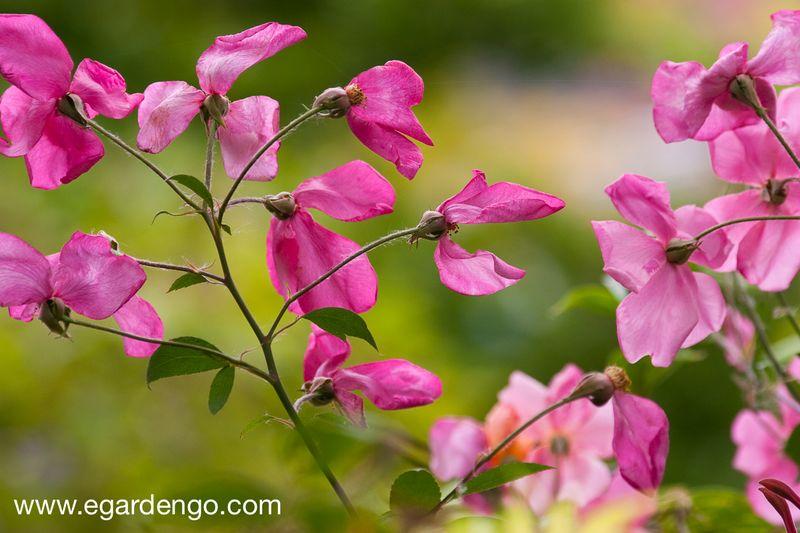 Rosa x odorata 'Mutabilis'-7330