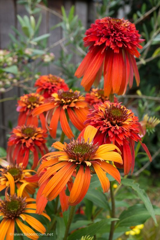 Echinacea 'Hot Papaya'-04384