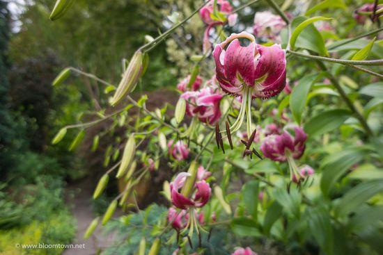 Echinacea 'Hot Papaya'-04384