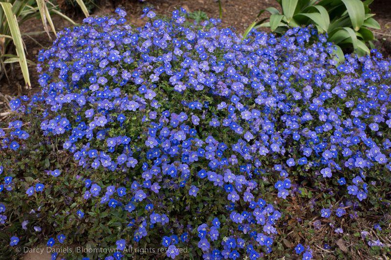 Veronica 'Georgia Blue'-01618