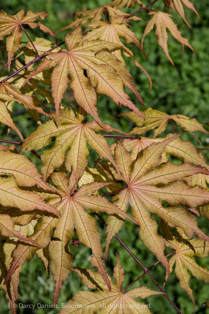 Acer 'Amber Ghost'-01654