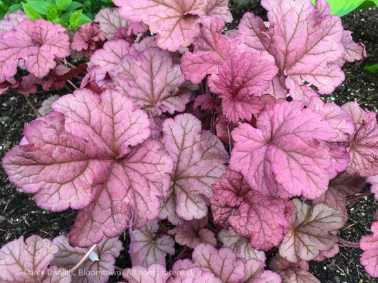 Heuchera 'Berry Smoothie'-9376