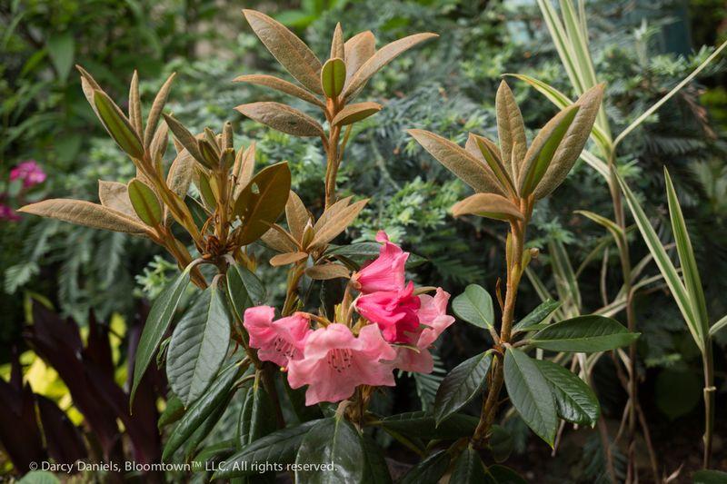 Rhododendron bureavii-02074