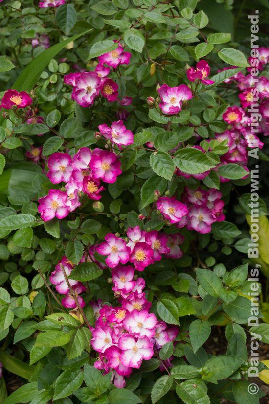Rhododendron Ebony Pearl-02042