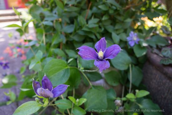 Clematis 'Silver Moon'-02134