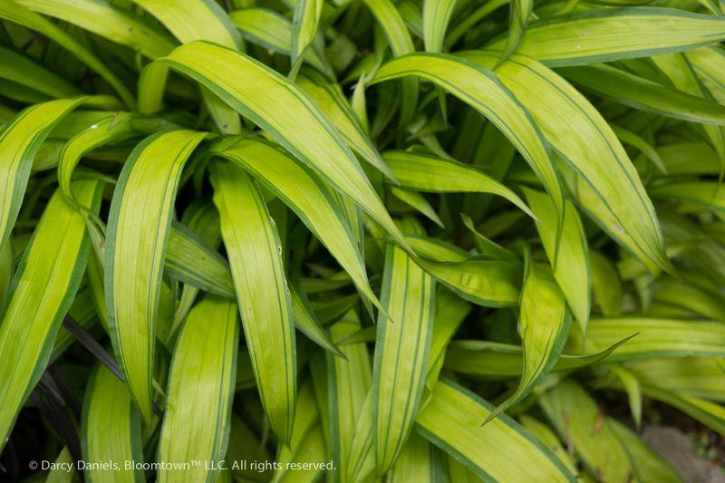 Carex ciliatomarginata-02052