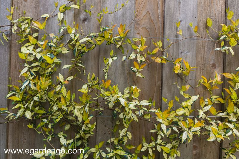 Trachelospermum 'Ogon Nishiki'-01918