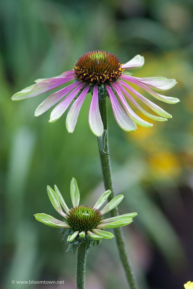 Echinacea 'Green Envy'-7344