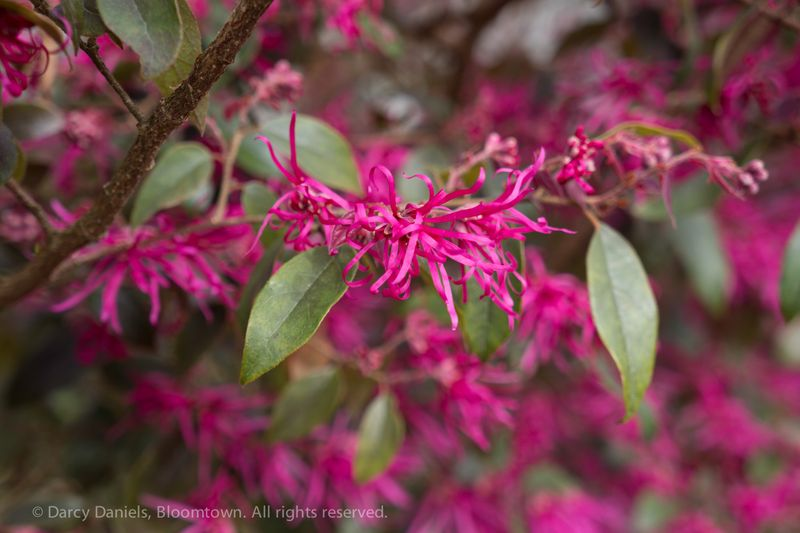 Loropetalum chinensis-01607