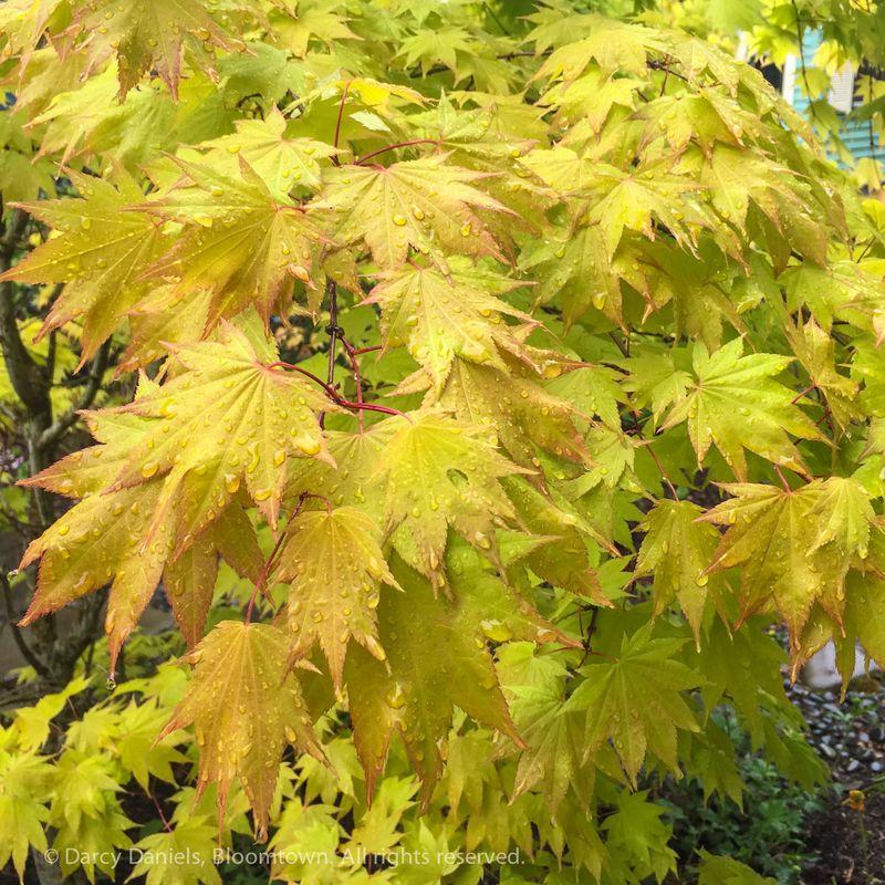 Acer 'Autumn Moon'-9477