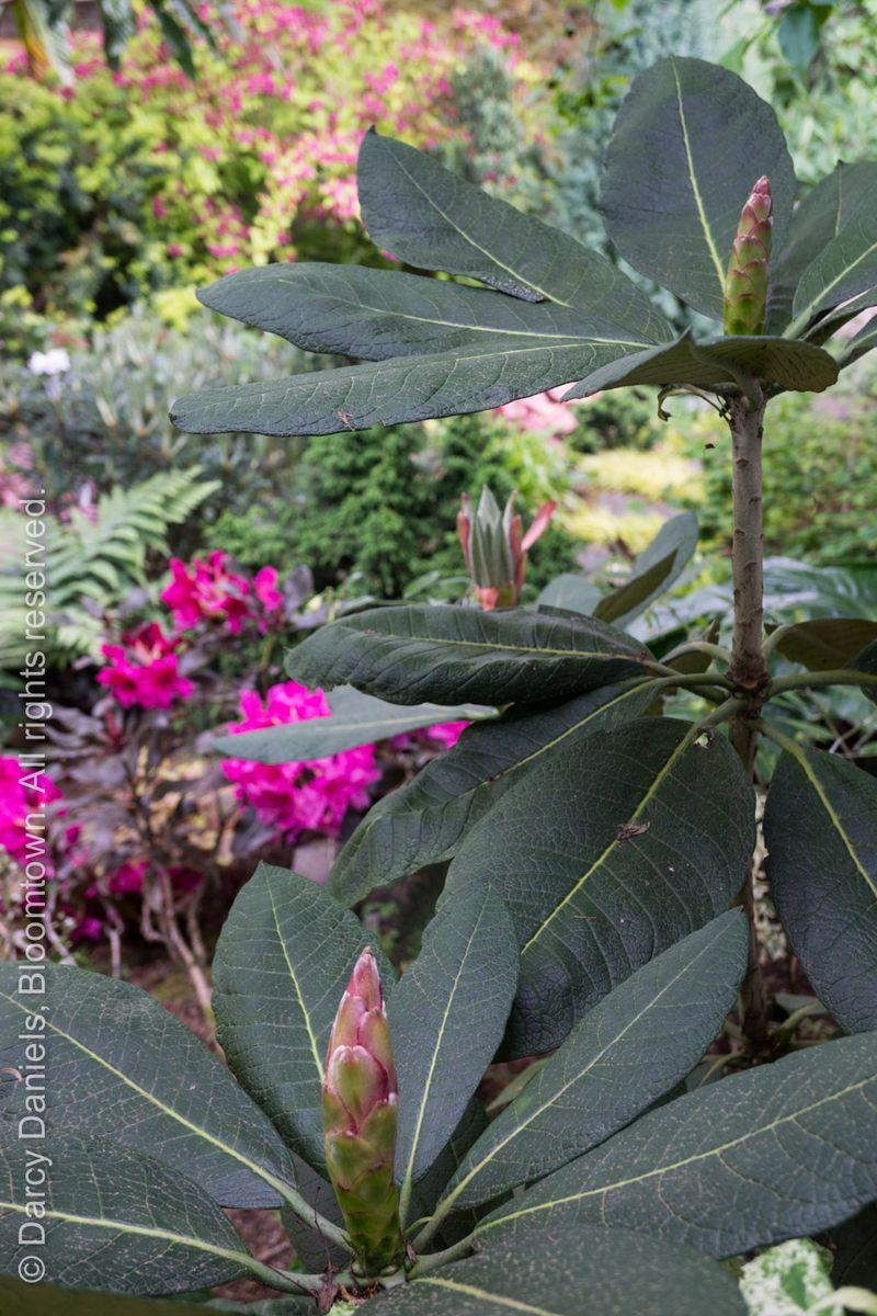Rhododendron sinofalconeri-02031