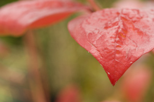 Blueberry_foliage_fall_color