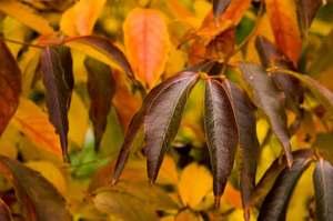Stewartiarostratafallcolor