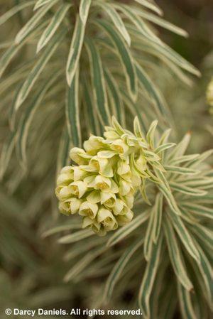Euphorbiatasmtiger_5094