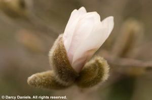 Magnoliastellata_5093