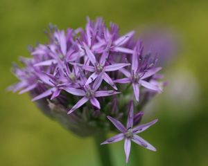 Allium_4877_blog