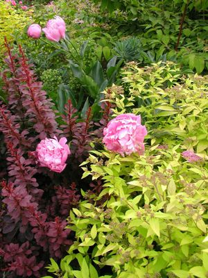 Combo_barberry_peony_and_spiraea_blog