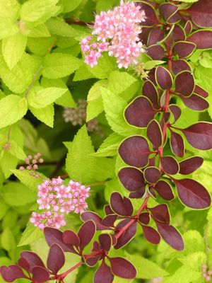 Combo_gold_ring_barberry_and_spiraea_blo