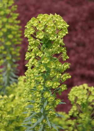 Euphorbia_4505_blog