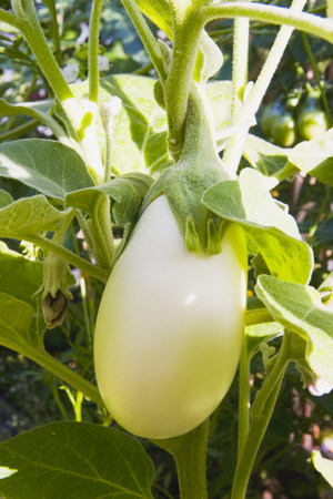 Japanese_white_eggplant_0038_blog