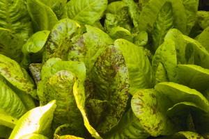Lettuce_0041_blog
