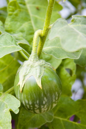 Thai_green_eggplant_0046_blog