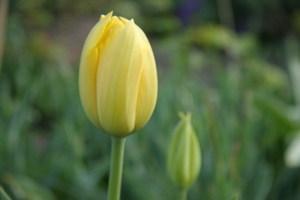 Tulip_4419_blog